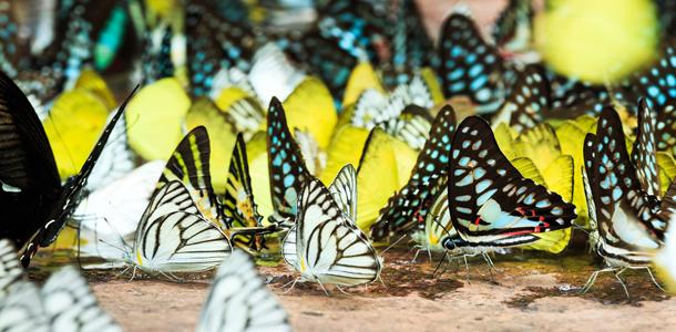 Koh Samui Kelebekler Çiftliği
